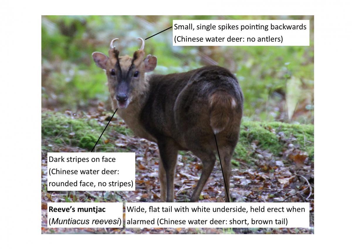 Chinese Deer With Fangs Chinese Water Deer Rump is