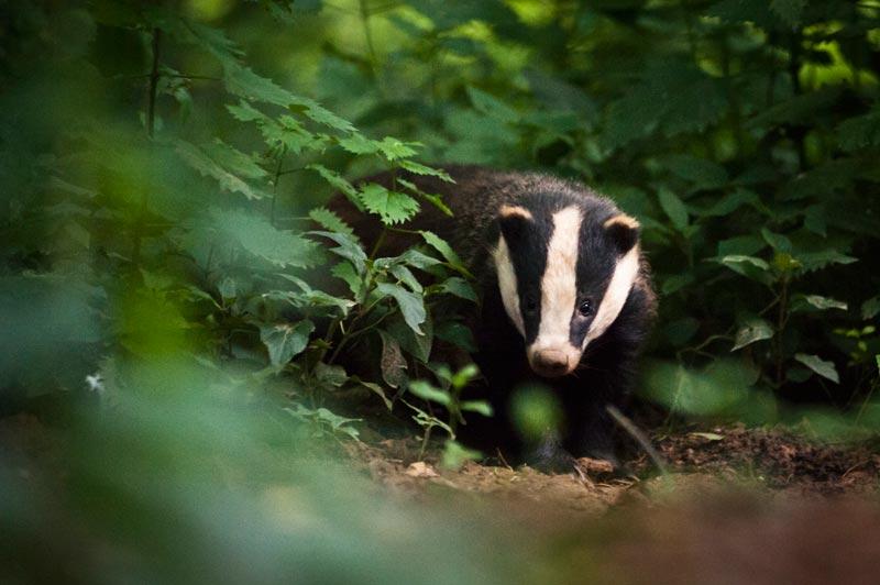 Badger by Luke  Millward