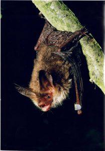 Bechstein bat