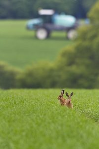 Brown hares by Martin Clay