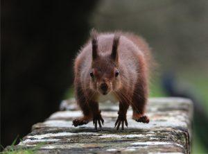 Red squirrel by Melissa Nolan