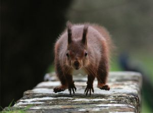 Position statement: Red squirrel introduction to the Isle of Man