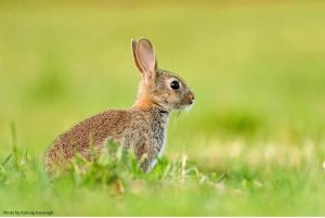 The Mammal Society's Great Easter Bunny Hunt (April 2016)