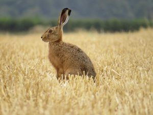 Sitting hare Alex White - 12 inch short dimension - 300 dpi