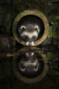 Polecat photo by Richard Bowler, winner of the Mammals on our Doorstep category