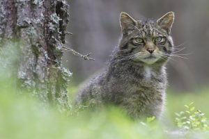 Mammal Tracker app used to track down wildcats