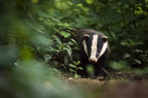 Position statement: Badgers and Bovine Tuberculosis