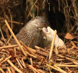 Otter by Paul Dibben, winner of the A Brief Encounter category. Paul won a holiday with Wild Days conservation.