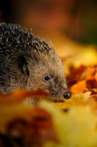 Help the Mammal Society's Annual Hedgehog Watch
