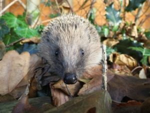 Help our annual Hedgehog-Watch