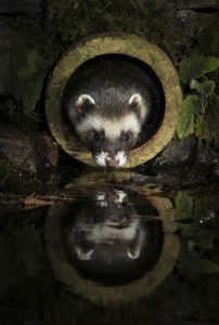 Polecat by Richard Bowler, winner of the Mammals on our Doorstep category. Richard won a 2 night stay at Knepp Wildland Safaris.