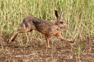 Hare today gone tomorrow: can you tell your mad march hare from your Easter bunny?