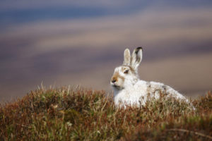 Mammal Society joins appeal to safeguard of mountain hare populations in Scotland