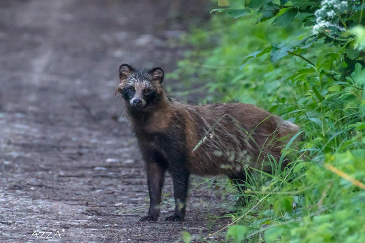 raccoon dog hd image