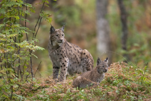 Mammal Society Position Statement on the Reintroduction of the lynx to Britain