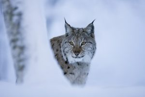 Position Statement – the reintroduction of the lynx to Britain