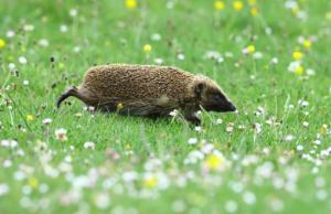 Big Half Term Hedgehog Watch 2018