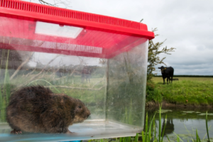 New research reveals that water voles remain at risk from developers