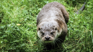 It's Otter Saturday ! National #MammalWeek 2018