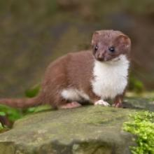 species weasel the mammal society