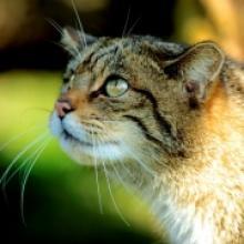 Species Wildcat The Mammal Society
