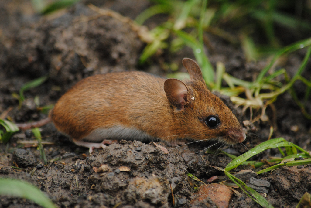 Species – Wood Mouse – The Mammal Society