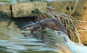 Surfing the weir Paul Dibben otter