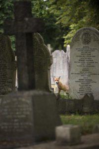 cemetery fox