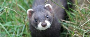 Polecat courtesy of the Vincent Wildlife Trust