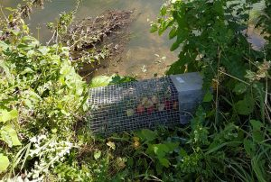 One fully baited water vole trap