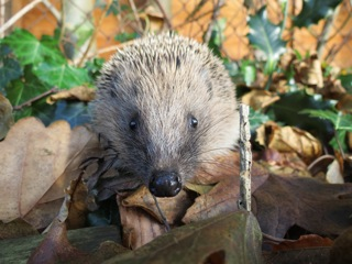 Hedgehog by Ben Reese