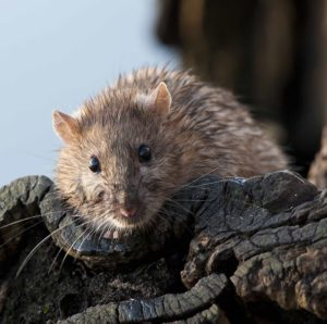 Picture of a brown rat on some bark