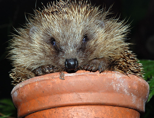 The impact of invasive mammals in Britain – The Mammal Society