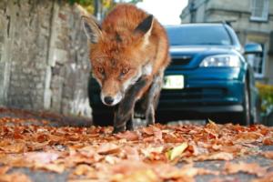 Fox in Bristol by Ian Wade