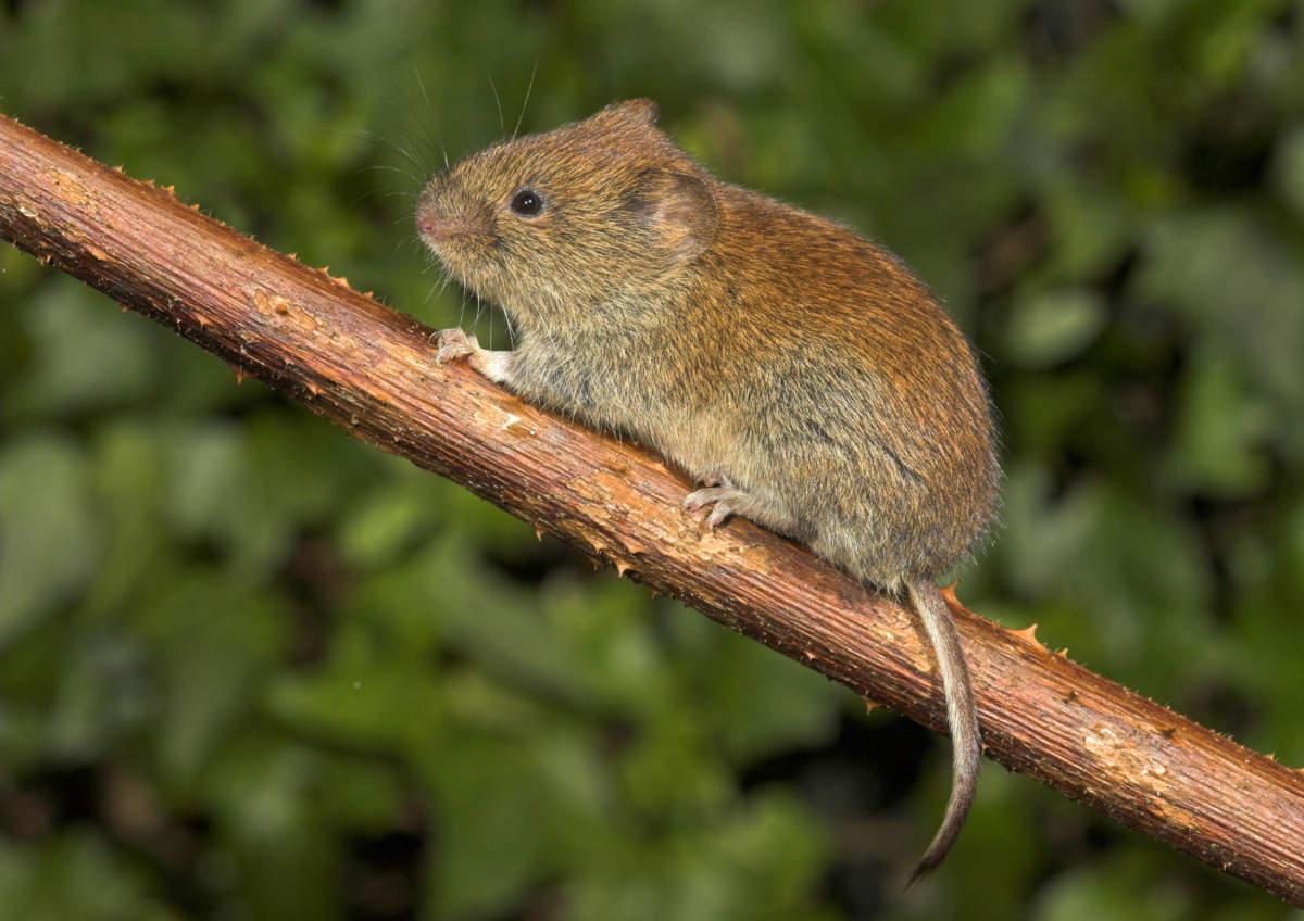 Species – Bank Vole – The Mammal Society