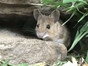 A yellow necked mouse peeking out from a gap in rocks