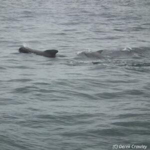 Long-finned pilot whale © Derek Crawley, Sea Watch Foundation