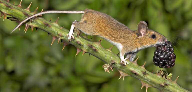 photo of wood mouse by gary cox